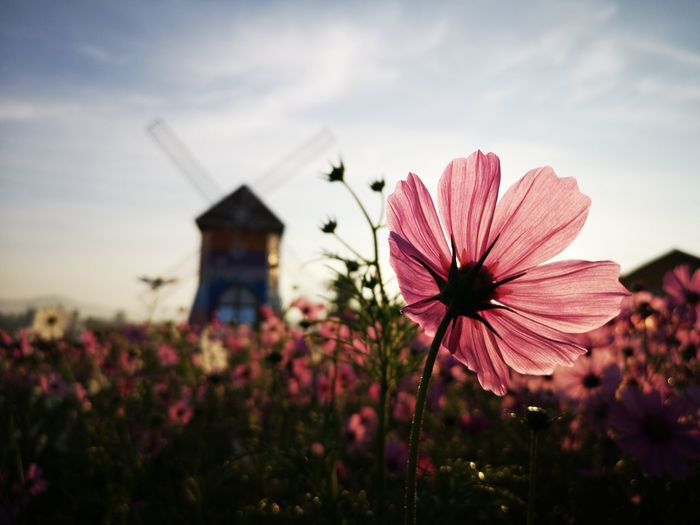 Close-up of pink flowering plant on field against sky