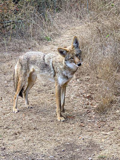 Cayote Mammal