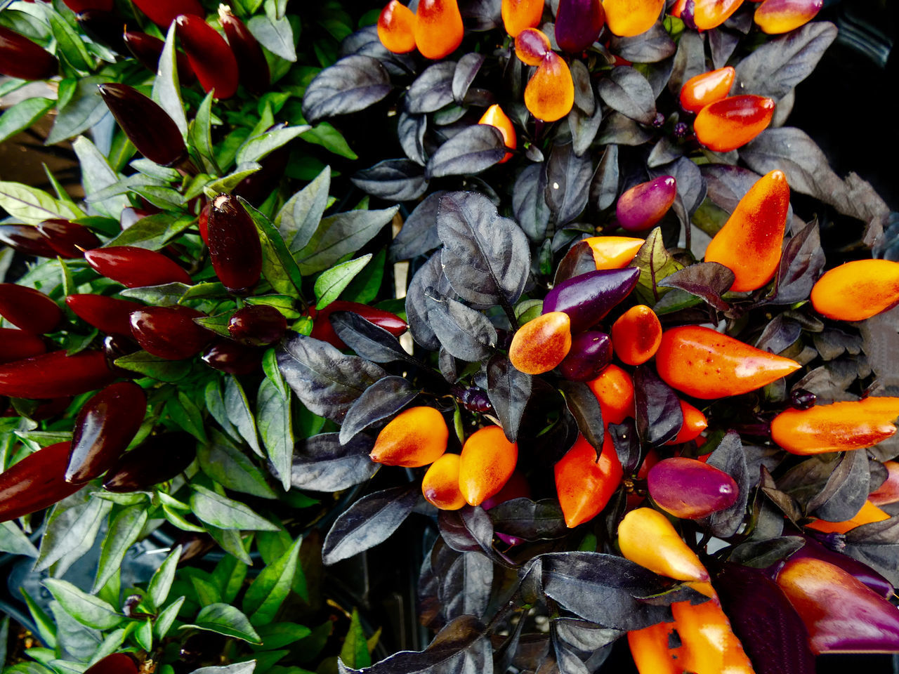 HIGH ANGLE VIEW OF ORANGE PLANTS IN WATER