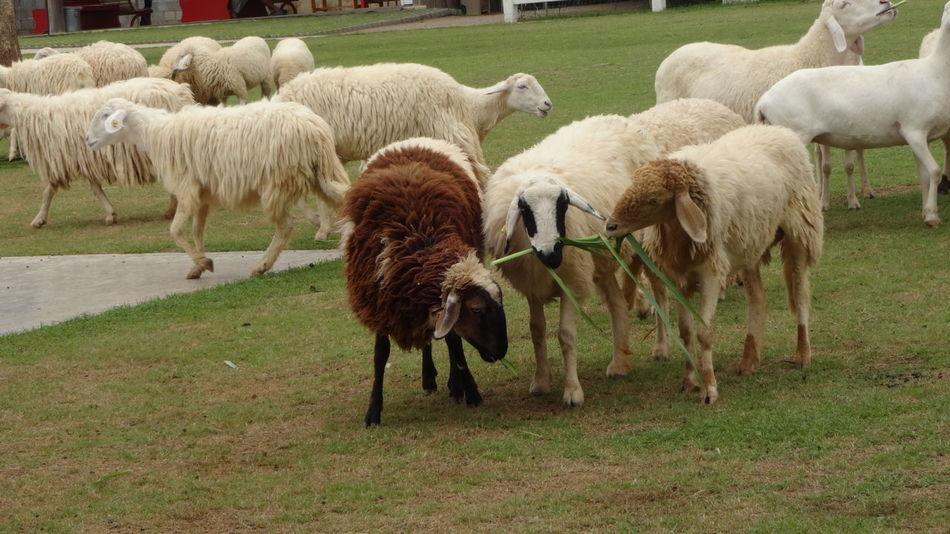 Animal Animal Head  Animal Themes Field Grass Sheep Togetherness Two Animals Zoology