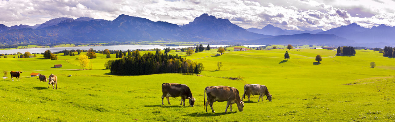panorama landscape with mountain range and herd of cows in meadow at lake Forggensee in region Allgäu, Bavaria, nearby city Füssen Allgäu Panorama Animals In The Wild Beauty In Nature Cow Domestic Animals Field Forggensee Füssen Germany Grass Herd Landscape Livestock Mammal Mountain Mountain Range Nature No People Outdoors Panoramic Landscape Rural Scene Scenics Tranquil Scene Wide Angle