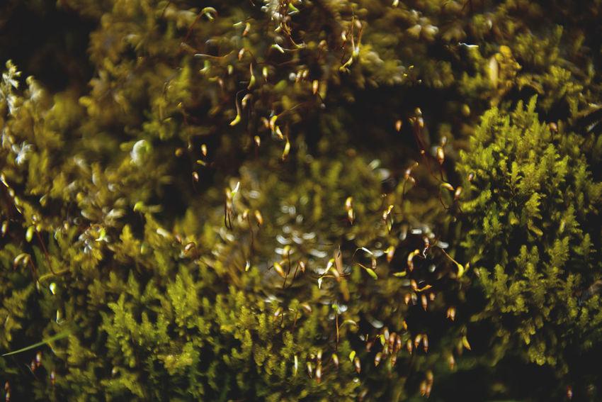 Botanical series: Micrology Alpen-Widertonmoos Alpine Frauenhaarmoos Green Growth Micro Nature Moss & Lichen Plants Polytrichastrum Alpinum Polytrichum Strictum Alpine Haircap Alpine Polytrichastrum Moss Alps Beauty In Nature Botanical Close-up Flowers Micrology Mini Moss Mountain Plants