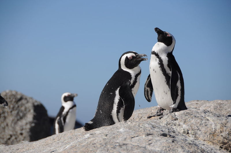 Penguins on rock against clear sky