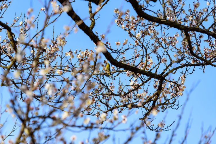 Tree Branch Low Angle View Plant Sky Growth Flower Beauty In Nature Flowering Plant No People Day Blossom Nature Springtime Fragility Clear Sky Selective Focus Outdoors Focus On Foreground Vulnerability  Spring Cherry Blossom メジロ 曽我梅林