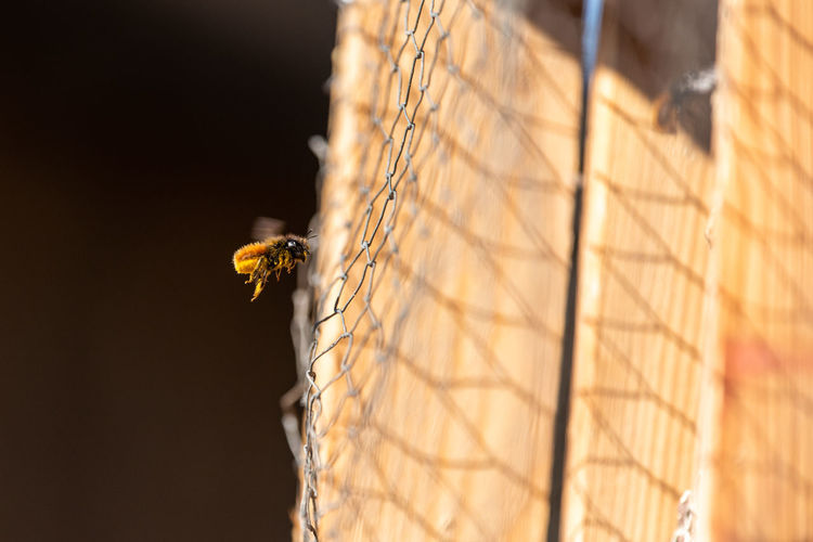 Close-up of flying bee