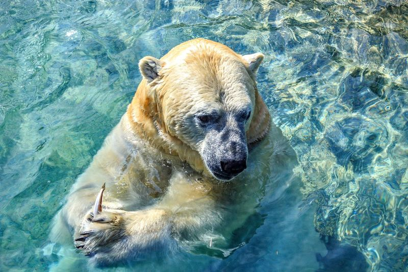 Portrait of polar bear in swimming pool