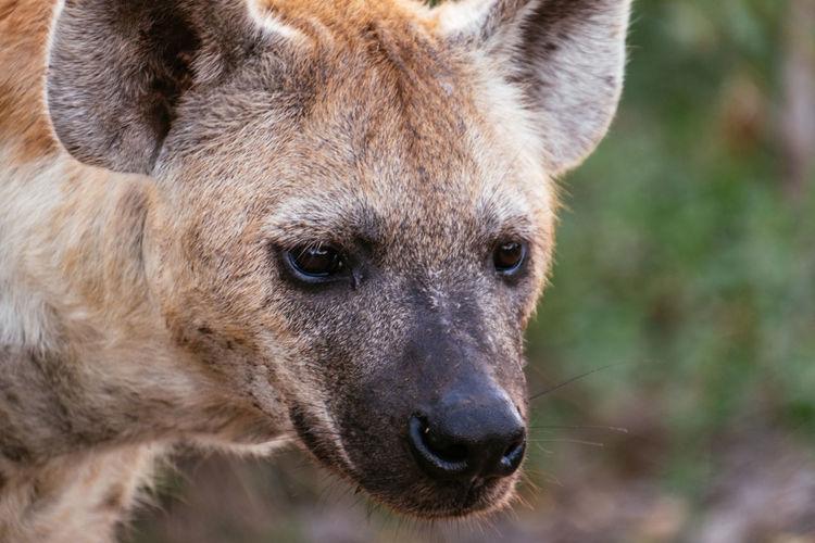 Close-up of hyena outdoors