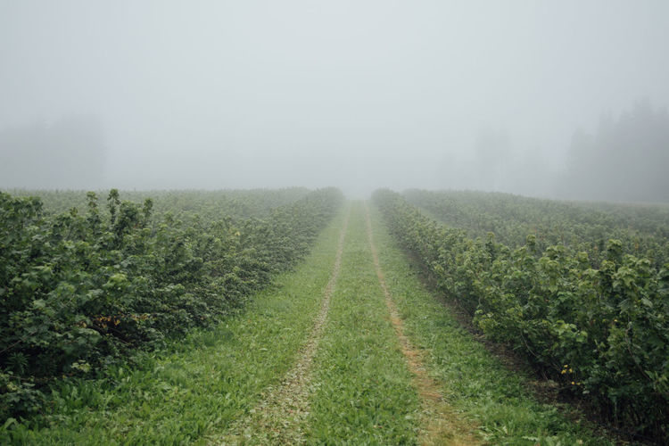 Agricultural field during foggy weather