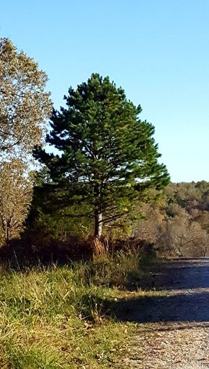 Natural Christmas Tree Arkansas Pine Beauty In Nature Clear Sky Day Grass Growth Landscape Nature No People Outdoors Scenics Sky Tranquil Scene Tranquility Tree