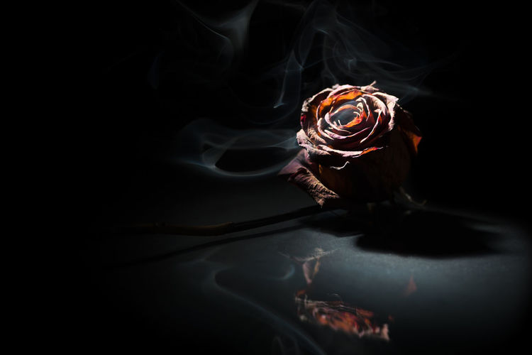 Studio shot of a dried red rose on glass plate in spot light in front of black background.