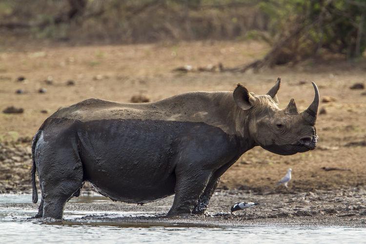 Rhinoceros and birds at lakeshore