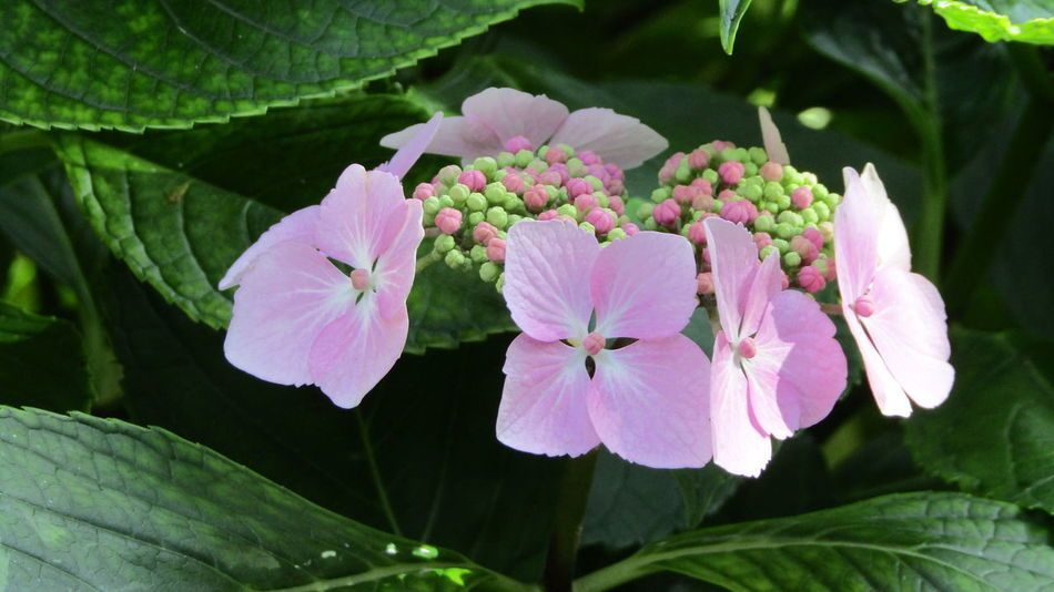 Pink Hydrangeas Nature On Your Doorstep Nature Greenleaves Pink And Green Buds Summer Memories 🌄 Relaxing Taking Photos