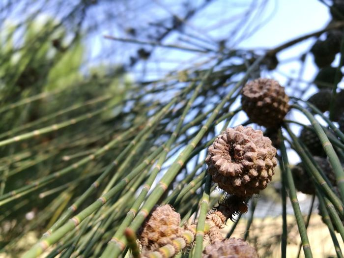 Casuarinaceae Casuarina Cones Nature Growth Pine Tree Day Tree Close-up No People Outdoors Freshness Sky