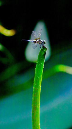 蜻蜓 One Animal Insect Invertebrate Animal Themes Animals In The Wild Animal Wildlife Close-up