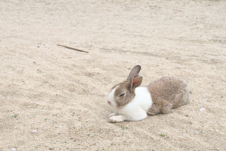 Close-up side view of a rabbit on sand