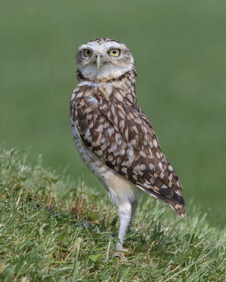Little owl on