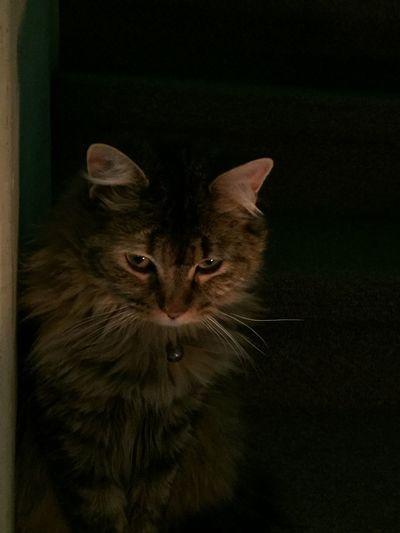 Miau Gato Domestic Cat Cat Domestic Pets Feline Mammal Domestic Animals Animal