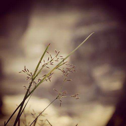 เป็นเพียงดอกหญ้าหน้าแล้ง พอลมแรงแรงพัดก็สะบัดไหว แหงนมองตะวันทอ ..ท้อในใจ โลกกว้างใหญ่ เกินกว่าจะอยู่ลำพัง เป็นแค่ดอกหญ้าริมทาง พยายามจะไม่สร้างความหวัง หวาดกลัวสายตาคนชิงชัง คอยรับฟังความเหงาบ่นระบาย เกิดมาเป็นได้เพียงดอกหญ้า เติบโตช้าช้า คงพอมีความหมาย จะทุกข์ จะตรม จะข่มอาย ประดับกายเคียงโลก..คลายโศกตรม . . .(word from : http://topicstock.pantip.com/writer/topicstock/2006/06/W4485481/W4485481.html) Grass Thaiig Igth Instalike instagood instamood instadaily instafamous all_shots allshots_ jj flower