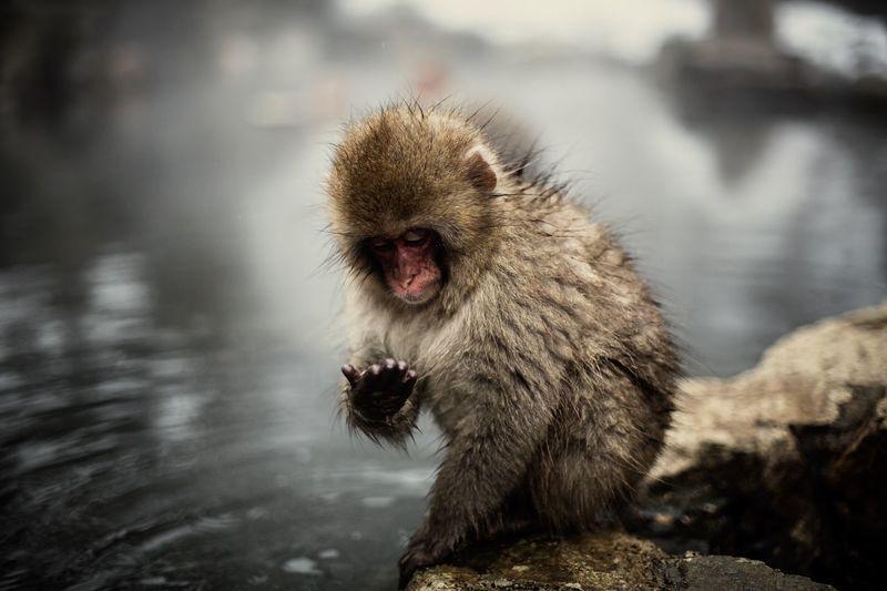 Monkey Snowmonkey Japanese Macaque Baby Snow Monkey Bathing Bathing Monkey Onsen Hot Springs Jigokudani Jigokudani Snow Monkey Park Canon5Dmk3 Zeiss Makro-Planar 100mm Bokeh Depth Of Field Palm Reading