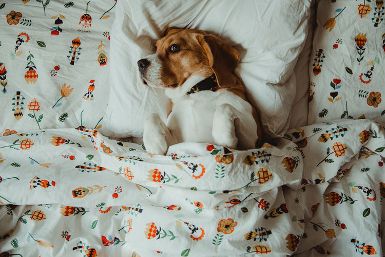 Nuca the beagle, sleepy dog in the bed Animal Themes Indoors  Animal Dog Canine One Animal Mammal Domestic Animals Pets Domestic Furniture Bed Relaxation High Angle View Home Interior Lying Down Comfortable Sleeping Sleep Sleeping Dog Bedroom IKEA Resting Cozy Beagle