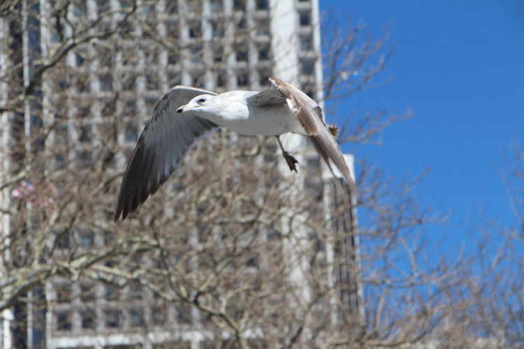 Low Angle View Of Seagull Flying Against Bare Trees