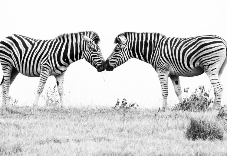 EyeEmNewHere South Africa Zebra Love black and white Beautiful Animals  stripes Been There.