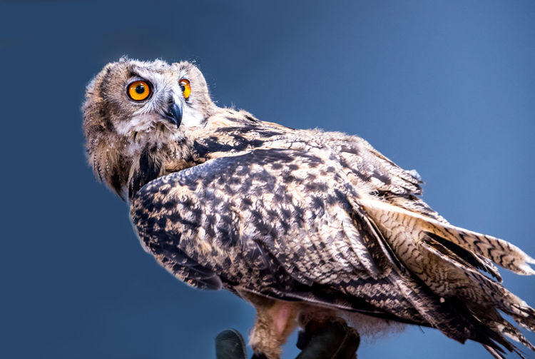 A beautiful live owl sits on a perch during a exotic wildlife demonstration