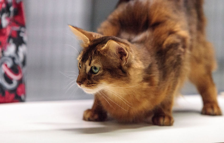 Red Somali purebred cat with beautiful spots and markings Annoyed Cat Feline Fuzzy Longhaired Cats Purebred Red Cat Red Somali Somali Somali Cat