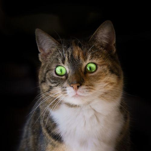 EyeEm Selects Black Background Pets Portrait Domestic Cat Looking At Camera Ear Whisker Animal Hair Eye Animal Head  Animal Eye Cat