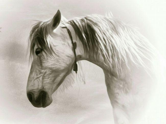 Campo horse. Horse Horses Mane Horse Photography  Horse Love Horses Horsehead Equine Horse Lover White Horse Horsepassion Campo Horse Caballo ESPAÑOL Caballo Blanco Fine Art Fine Art Photography Vignette Andalucia Spain Andalucia Rural Awehaven's Andalucia