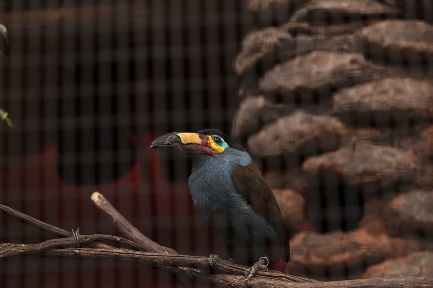 Plate-billed mountain toucan Andigena laminirostris behind the walls of a cage Andigena Laminirostris Animal Themes Animal Wildlife Animals In The Wild Avian Bill Bird Birds Close-up Day Nature No People One Animal Outdoors Perching Plate-billed Mountain Toucan Toucan