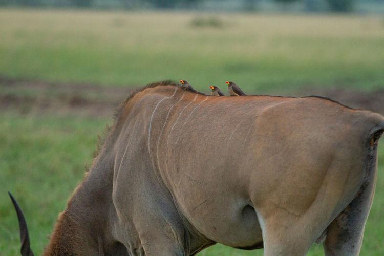 Little birds with bright orange beaks sit on the back of an eland antelope in kenya