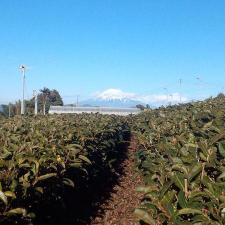 茶畑から富士山 フジヤマ 富士山 Mtfuji