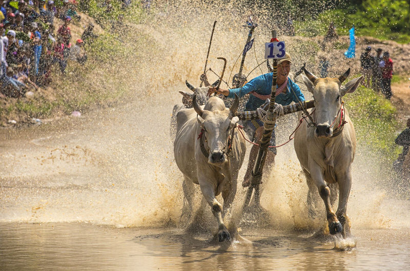 Cattle racing of Kh'me people in Angiang, Vietnam Farmer Men Riding