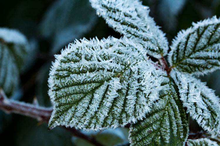 Close-Up Of Frozen Leaf During Winter