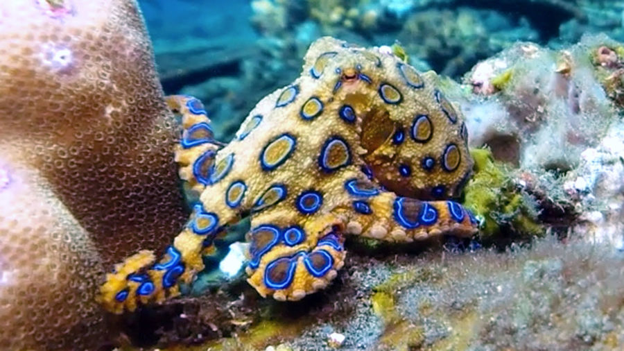 Blue-ringed octopus (Hapalochlaena lunulata) in the wild Diving SCUBA Scuba Diving Animal Themes Animal Wildlife Animals In The Wild Beauty In Nature Blue Blue Ringed Close-up Coral Nature No People Octopod Octopus One Animal Outdoors Ring Sea Sea Life UnderSea Underwater Venomous Water