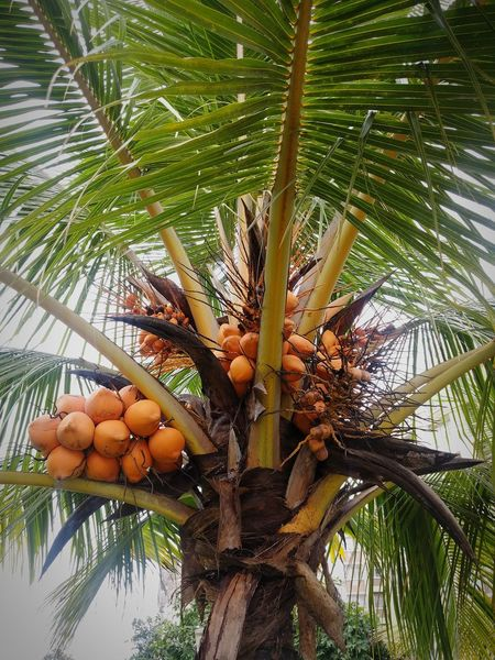 Coconut Trees And Beaches Coconut Palm Tree Tropical Tree Tree Trunk Low Angle View Coconut Tree Coconut Beach Tree With Fruits Fruit Photography Fruit Tree Coconut Water