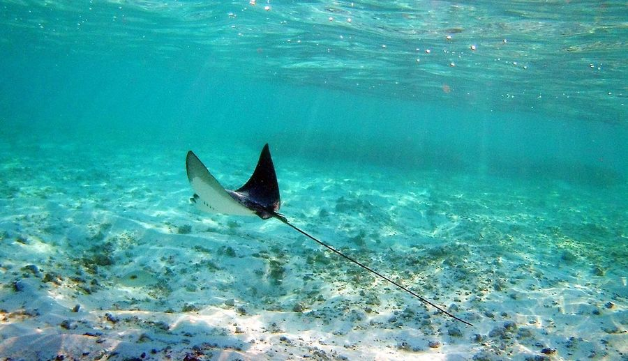 Eagle Ray View Eagleray Maldivesphotography UnderSea Sea Life Water Sea Scuba Diving Underwater Swimming Fish Ocean Floor Saltwater Fish