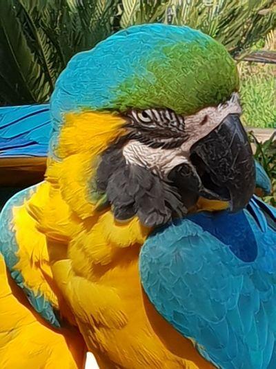 Macaw Bird Gold