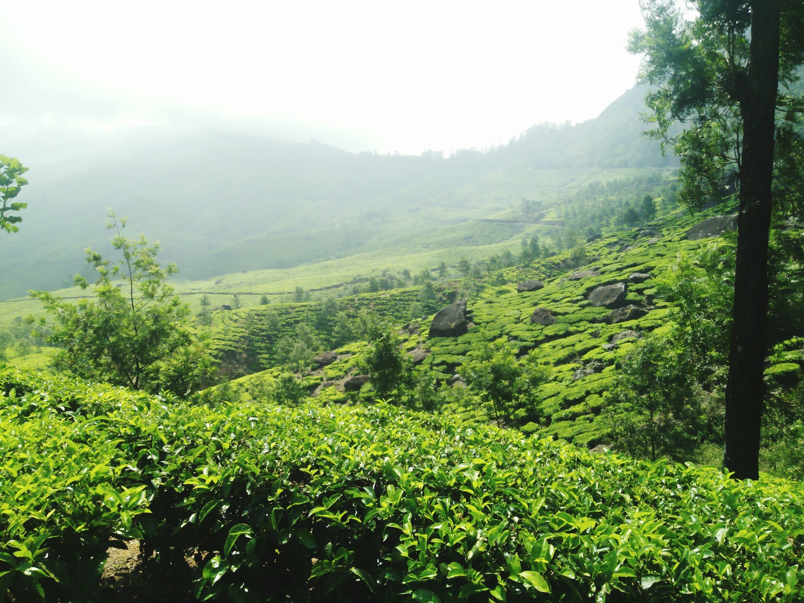 growth, tree, nature, beauty in nature, landscape, green color, agriculture, scenics, tranquility, tranquil scene, no people, outdoors, day, sky, field, rural scene, mountain, tea crop, freshness