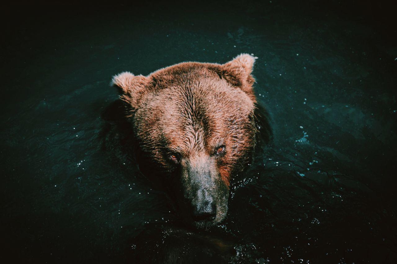 Close-up of brown bear in lake