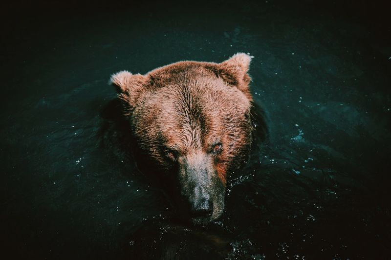 Animal Head  Animal Nose Bear Brownbear Fujifilm Lake Nature Outdoors Swimming Wild Wildlife Zoology First Eyeem Photo bär The Great Outdoors - 2017 EyeEm Awards Pet Portraits