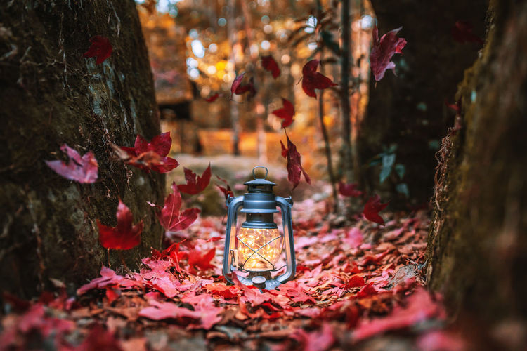 Lighting the Way. Happy fall y'all. Nature Autumn Tree Lighting Equipment Illuminated Forest Maple Maple Leaf Maple Tree Maple Leaves Mapleleaf Leaf Leaf Vein Leafs Lantern Lanterns Celebration Vintage Red Red Color Red Flower Lifestyles Light And Shadow Light Happiness