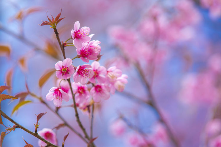 Pink Cherry Blossoms on blue sky background, Pink flowers on blue sky background, Blurred background Beautiful Cherry Blossoms Plant Romantic Soft Aroma Backgrounds Blooming Blossom Close-up Day Flower Focus Freshness Growth Nature Outdoor Outdoors Park Pink Pink Color Season  Smell Springtime Tree