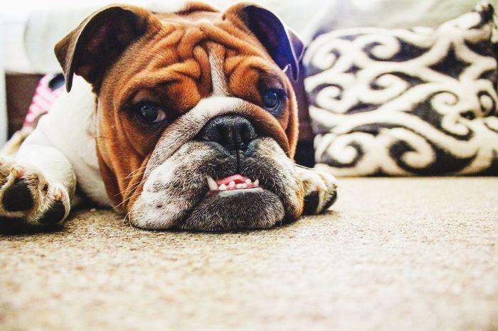 Winston English Bulldog Bulldogs Bulldogsworldwide Roommatesdog Dog Dogs Wrinkles Pet Photography