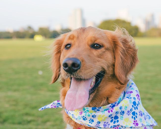 EyeEm Selects Dog Pets Golden Retriever One Animal Domestic Animals Animal Themes Focus On Foreground Day Mammal Outdoors Close-up No People Grass Nature Sky First Eyeem Photo