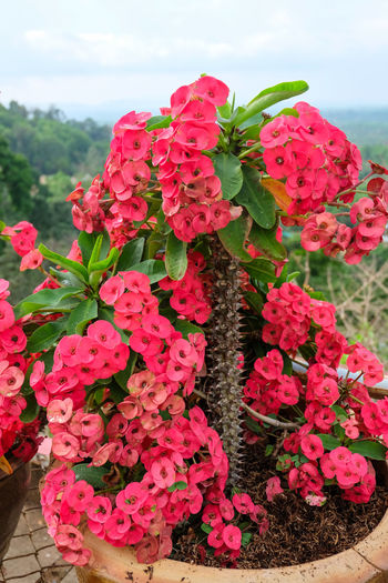 วัดเขาสุกิม Abundance Beauty In Nature Blooming Blossom Botany Change Close-up Eight Immortals Flower Flower Head Fragility Freshness Growth Petal Pink Pink Color Red Rose - Flower Springtime