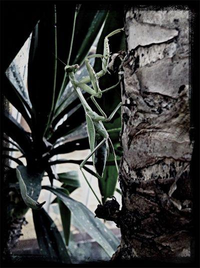 Mantis...