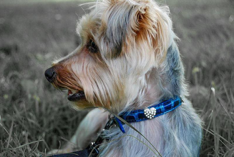 Animal Photography I Love Animals Animal Love DogLover❤💓💜🐾 Yorkie ♥ YorkieBestShots I Love My Dog Dog❤ I Love My Dog❤ Summer Dogs