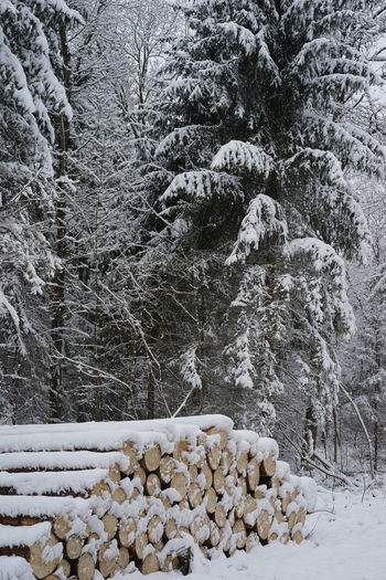 winter scape wood Chrisrmas Christmas Tree Cold Temperature Nature Snow Winter Winter Scape Wood Wood - Material